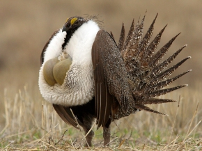 Greater Sage Grouse does not require Endagered Species Act protection.