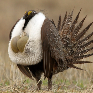 sage+grouse