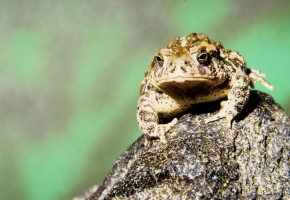 900 Wyoming Toad released on Buford Ranch